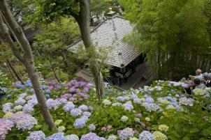 長谷寺のあじさい。2,500株という長谷寺の紫陽花はとにかく訪れた人を圧倒します。