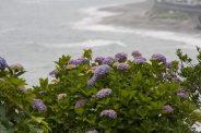 稲村ケ崎海浜公園のあじさい。