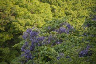 大切岸からハイランド方面に少しいったところに藤が咲いていました。5月5日、新緑の山に鮮やかな紫。整えられた藤棚とは違った魅力があり、はっとさせられます。