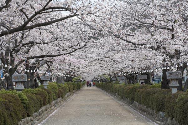 かつて頼朝が造った道にいまは桜が植えられ人々を楽しませています。鶴岡八幡宮に向かって道が細くなっているのは、防御の観点から道を長く見せるためだとか。