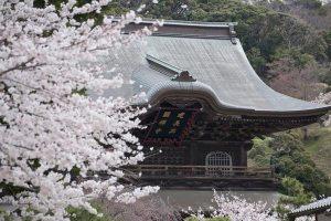 建長寺の桜。よく見るカットです。駐車場から望遠で狙えば簡単に誰でも撮れます。