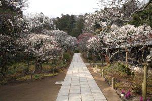 東慶寺。北鎌倉人気1番の名所。門の付近から数十本の梅が参道の両側に整然と並びます。