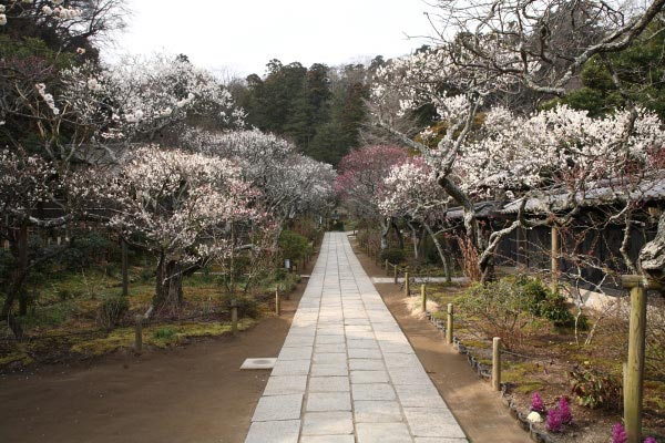 梅の名所 東慶寺