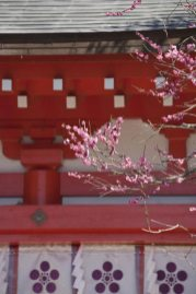 荏柄天神社。頼朝も大切にした神社には、鎌倉一早咲きの木があります。
