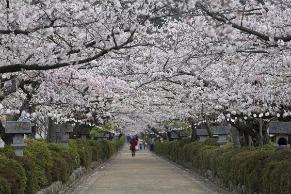 段葛の桜(改修前)。季節には見物客で賑わいます。