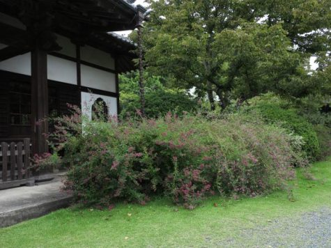 浄光明寺本堂前の萩。