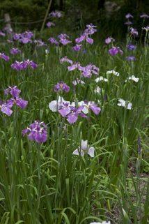 光則寺の花菖蒲(ハナショウブ)。光則寺は花の寺といわれるほど様々な花が咲きます。