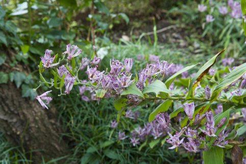 宝戒寺の杜鵑草(ホトトギス)。本堂の前に咲いています。