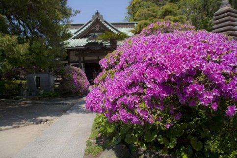 安養院の躑蠋(ツツジ)。門前だけでなく中にも咲いています。
