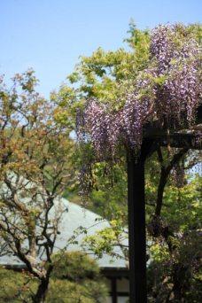 光触寺の藤。光触寺は静かな十二所にある時宗の寺院。境内右側にあります。