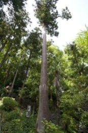 熊野神社の杉。