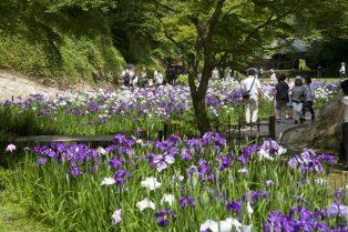 明月院の花菖蒲(ハナショウブ)。谷戸の奥へと菖蒲園は続きます。