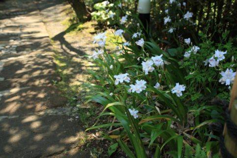 浄妙寺の著莪(シャガ)。喜泉庵入口あたり。石畳とよくあいます。