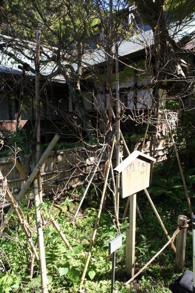 瑞泉寺の冬桜。本堂と同じ平場、門の側にあります。