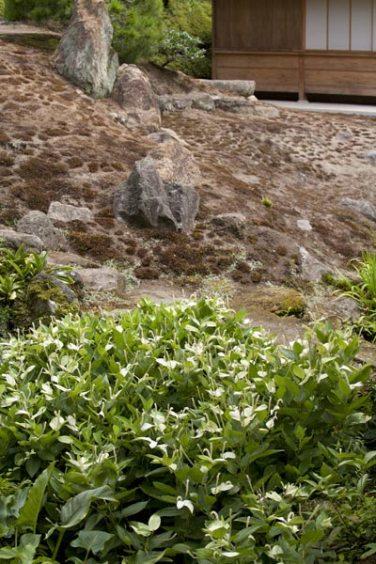 海蔵寺半夏生(ハンゲショウ)。本堂裏の池のほとりに咲きます。