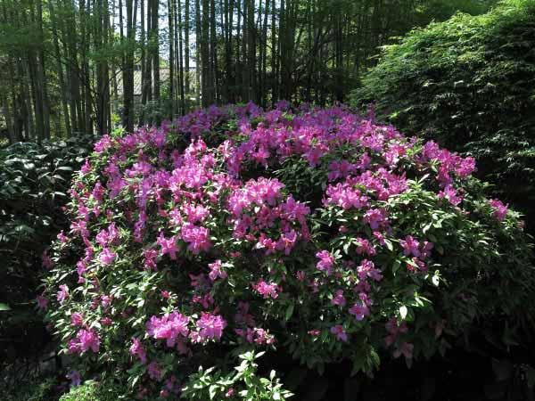 報国寺の躑躅(ツツジ)。報国寺らしく竹林を背景に咲いています。