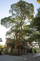 御霊神社の椨(タブノキ)。源義家とともに後三年の役を戦った鎌倉権五郎景正を祀ります。