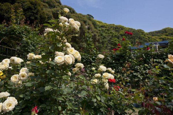 鎌倉文学館の薔薇(バラ)。旧前田侯爵別邸と薔薇はいかにも洋館という趣。