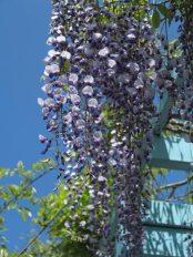 鶴岡八幡宮の藤。神苑牡丹園の受付付近にあります。鶴岡八幡宮の藤はここと、弁財天(白藤)にあります。どちらかというと弁財天の白藤の方が見応えがあります。