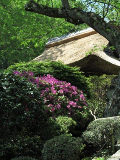報国寺の躑躅(ツツジ)。山門を入って本堂に至る階段までに数本、本堂前左右にも咲きます。