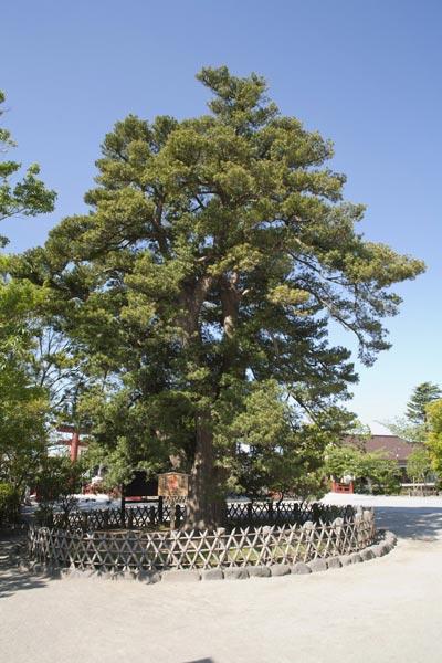 鶴岡八幡宮の槙(マキ)。太鼓橋の近くにあります。鎌倉市の天然記念物です。