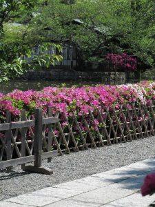 鶴岡八幡宮の躑躅(ツツジ)。源氏池周辺、弁財天を囲むように池沿いにたくさんの躑躅があります。