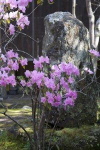 海蔵寺の皐月(サツキ)。淡い色合いがとても上品です。