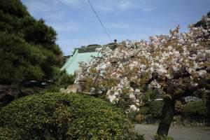 龍口寺、大書院前の桜。