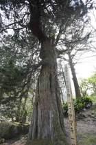 浄智寺の高野槙の巨木。