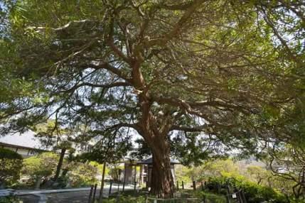 安養院の槙。樹齢700年、開山の良弁尊観の手植えと伝わる槙の巨木。鎌倉市の天然記念物です。