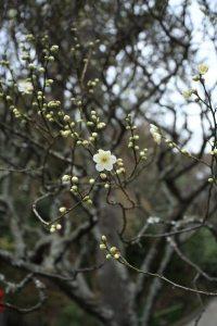 報国寺の梅。2014年1月30日。今年は全体に早めなような気がします。すでに見頃の寒紅梅以外はおおむねこの写真のようにちらほらと咲いているか、もしくはまだ蕾から花弁が覗かない程度です。