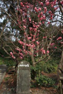 妙本寺の梅。2014年1月30日。境内に1本だけあるこの寒紅梅のみ見頃です。他の木はまだまだ。