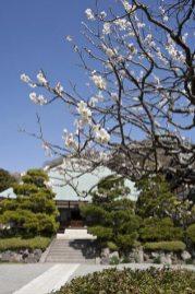 浄妙寺の梅。壮麗な銅葺屋根とゆったりとした参道に梅がよく似合います。足利氏菩提寺の風格が漂います。昔の茅葺きも良かったですが、銅葺も雰囲気あります。