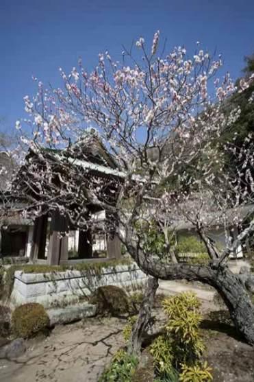 海蔵寺梵鐘前には結構な梅の古木。