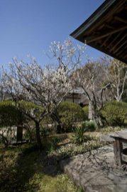 浄光明寺の梅。御堂に挟まれた庭園に咲きますから、両方の縁側から眺めることができます。