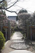 宝戒寺の梅。宝戒寺の参道は門の手前が桜、奥が梅並木になっています。