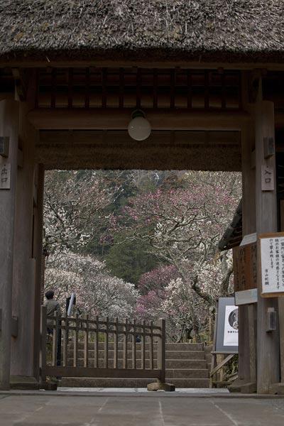 東慶寺は北鎌倉随一の梅の名所です。通りを曲り山門が見えてくると山門の前と山門から覗く境内に梅が咲き誇り、絵のようです。