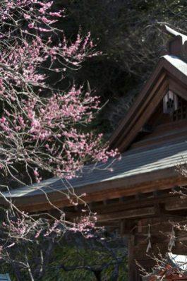 荏柄天神社の梅。日本三古天神の一つであり、鶴岡八幡宮若宮の本殿を移築した鎌倉一の古建築。歴史を感じる梅です。
