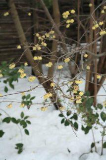 2014年(平成26年)2月9日、宝戒寺の梅。12月下旬から咲き始める素心蝋梅(ソシンロウバイ)は見頃です。宝戒寺には1〜2本植えられています。冬に咲く蝋梅は雪との相性もよいです。