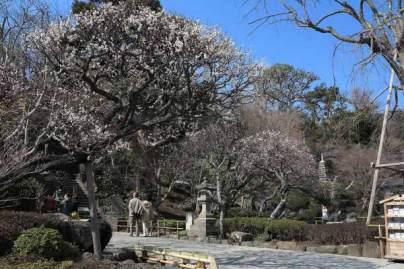 長谷寺の梅。一本一本、個性を尊重するようにきれいに剪定されています。