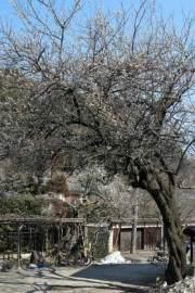 光則寺の梅。門前にある古木。樹齢200年~300年の古木は低く太くのびていますが、こちらは一見梅とは思えないほど高くそびえています。