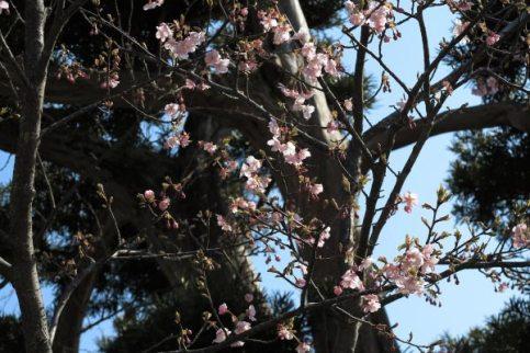 長谷寺の梅。長谷寺本堂の向かい側にある河津桜。梅が見頃を迎える2月下旬には咲き始めます。