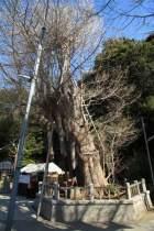 海南神社、源頼朝寄進と伝わる大銀杏(公孫樹)。樹齢800年の神木です。
