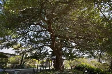 安養院はツツジだけでなく、北条政子墓、鎌倉最古の宝篋印塔など見所が多い寺院です。この槙も見所のひとつ。開山の良弁尊観手植えと伝わり、樹齢は700年といわれます。