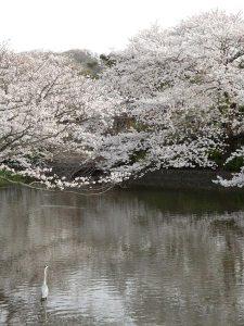 鶴岡八幡宮、源氏池の桜。