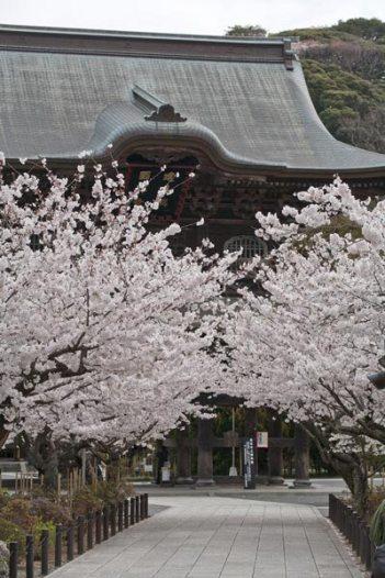 建長寺。三門前の桜。