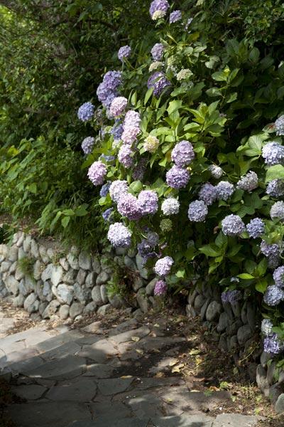 稲村ケ崎海浜公園の展望台に登る途中にもあじさい。