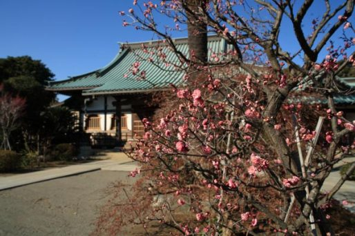 〈頼朝〉源頼朝の愛した三崎めぐり。桜の御所跡である本瑞寺。現在は桜ではなく梅が多く咲きます。鎌倉より暖かな三崎は梅も早く咲き、年にもよりますが1月中旬には咲いています。桜は隣の光念寺の本堂前に2本、大きな木があります。
