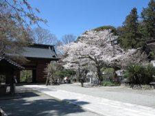 妙本寺二天門のそばに2本の大きな桜があります。
