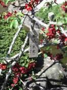 長谷寺経蔵前の木瓜(ボケ)は黒光という種類です。